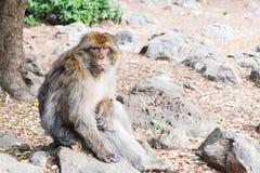 De Aapzitting van Barbarije Macaque op grond in het cederbos, Azrou, Marokko royalty-vrije stock fotografie