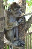De aapzitting van Macaque op een boom Stock Afbeeldingen