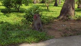 De aapzitting van Macaque ter plaatse Aapeiland, Vietnam stock videobeelden