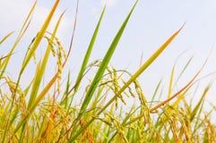 De aar en het blad komen omhoog voor oogst stock afbeelding