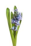 De aar van de hyacintbloem Royalty-vrije Stock Afbeeldingen