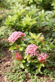 De aarbloem of de Roze ixorabloemen bloeien op boom in openbaar g royalty-vrije stock foto