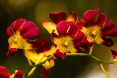 De aard bloeit rood en gele orchideeën Royalty-vrije Stock Foto