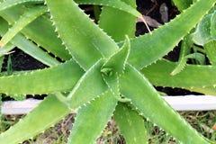 De aard van aloëvera, installatie van Vera van het Ingrediënten de groene Aloë verlaat landbouwbedrijf, de Macrostekels van Aloëv royalty-vrije stock afbeelding