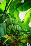 De aard van de banaanboom Royalty-vrije Stock Afbeeldingen