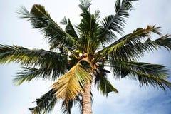 De aard van de boomkokosnoot op hemel Royalty-vrije Stock Afbeeldingen
