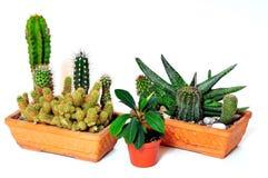 De aard van de de cactusseninstallatie van de cactus stock foto
