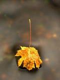 De aard van de herfst Lange schaduwen en blauwe hemel Detail van rot oranjerood esdoornblad Dalingsblad op steen Stock Foto's
