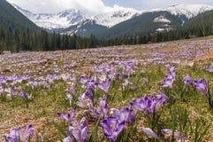 De aard van de lente Krokussen op de weide Tatry Stock Fotografie
