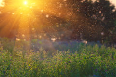 De aard van de zomer Landschapsweide bij zonsondergang Een troep van muggen Stock Foto