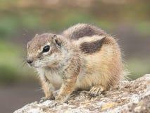 De Aard van het eekhoornwild Stock Fotografie