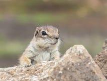 De Aard van het eekhoornwild Stock Foto's