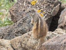 De Aard van het eekhoornwild Stock Afbeelding