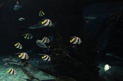 De aard van het vissen bannerfish water het zwemmen royalty-vrije stock foto's