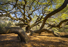 De Aard van Sc van zuidencarolina lowcountry angel oak tree Charleston Toneel Stock Foto