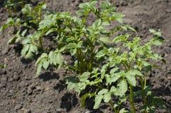 De aardappel groeit royalty-vrije stock afbeeldingen