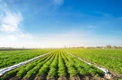 De aardappelaanplantingen groeien op het gebied op een zonnige dag Mooi landbouwlandschap Groeiende organische groenten royalty-vrije stock foto's