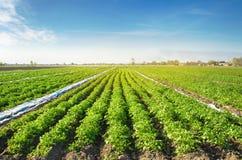 De aardappelaanplantingen zijn groeien op het gebied op een zonnige dag Het kweken van organische groenten op het gebied plantaar stock fotografie