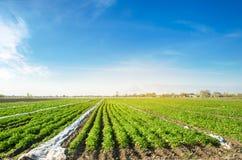 De aardappelaanplantingen zijn groeien op het gebied op een zonnige dag Het kweken van organische groenten op het gebied plantaar royalty-vrije stock afbeelding