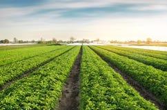 De aardappelaanplantingen zijn groeien op het gebied op een zonnige dag Het kweken van organische groenten op het gebied plantaar royalty-vrije stock afbeeldingen