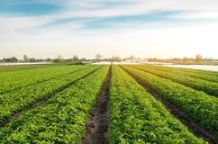 De aardappelaanplantingen zijn groeien op het gebied op een zonnige dag Het kweken van organische groenten op het gebied plantaar stock afbeelding
