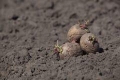 De aardappelknollen leggen op de grond Royalty-vrije Stock Fotografie