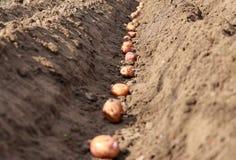De aardappels die zijn ontsproten worden gezaaid in de grond royalty-vrije stock afbeelding