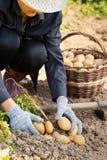 De Aardappels van Harvesting Fresh Organic van de vrouwenlandbouwer van Grond stock foto