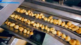 De aardappels worden automatisch gesorteerd terwijl zich het bewegen langs de vervoerder stock footage