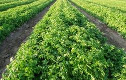 De aardappelsaanplantingen groeien op het gebied plantaardige rijen De landbouw, landbouw Landschap met Landbouwgrond Verse organ stock afbeeldingen