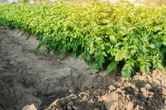 De aardappelsaanplantingen groeien op het gebied plantaardige rijen Landbouwgronden Gewassen Vers Landbouw de Landbouwlandbouwbed stock foto