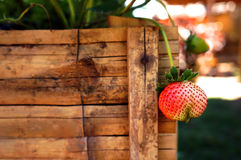 De aardbeien Stock Fotografie