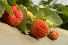 De aardbeien en doorbladert royalty-vrije stock afbeelding