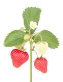De aardbeien met doorbladert aardbeibloemen stock fotografie