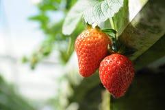 De aardbeien van de tuin royalty-vrije stock foto's