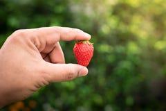 De aardbeien van de handholding Stock Afbeelding