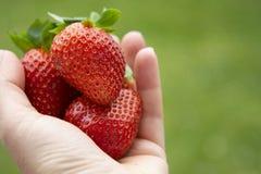 De aardbeien in vrouw overhandigen groene tuinachtergrond De zomer verse bessen De ruimte van het exemplaar stock foto