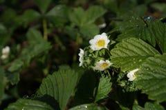 De aardbeien zijn bloeiend Groen gebladerte en witte bloemen De bloem van de aardaardbei in de lente dichte omhooggaande, selecti stock foto's