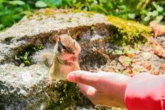 De aardeekhoorn eet met handen Royalty-vrije Stock Foto's