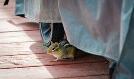De aardeekhoorn komt uit het verbergen die op een dek, door dienstenaanbod van pinda's wordt aangetrokken, behandelt een favoriet Royalty-vrije Stock Fotografie