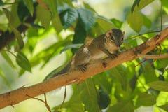 De aardeekhoorn is op een boom met kleine zoogdieren stock afbeelding