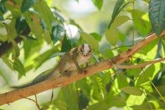 De aardeekhoorn is op een boom met kleine zoogdieren stock foto's