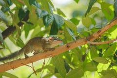 De aardeekhoorn is op een boom met kleine zoogdieren royalty-vrije stock afbeelding