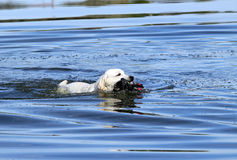 De aardige jacht Labrador Royalty-vrije Stock Foto