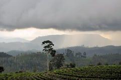De aardlandschap van de theeaanplanting in Sri Lanka Stock Fotografie