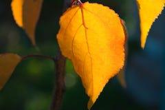 De abrikozen van het de herfstblad in zonlicht Royalty-vrije Stock Afbeelding