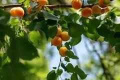 De abrikozen zijn boom-gerijpt, smakelijk, royalty-vrije stock foto's