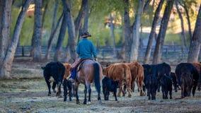 22 DE ABRIL DE 2017, RIDGWAY COLORADO: O vaqueiro reune o gado no rancho centenário, Ridgway, Colorado - um rancho de gado possuí foto de stock
