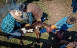 22 DE ABRIL DE 2017, RIDGWAY COLORADO: Os vaqueiros marcam o gado no rancho centenário, Ridgway, Colorado - um rancho com cruz de imagens de stock royalty free
