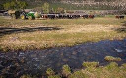 22 DE ABRIL DE 2017, RIDGWAY COLORADO: Ranchero en el rancho centenario, ganado de las alimentaciones con el tractor un rancho de imagen de archivo